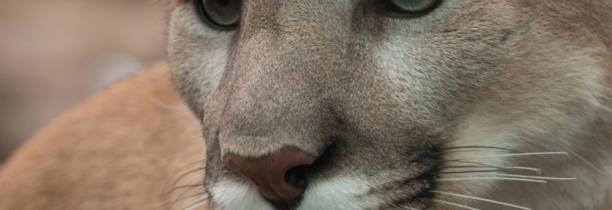 4b473f8190404 Cougar  cette espèce est désormais éteinte - Mona FM